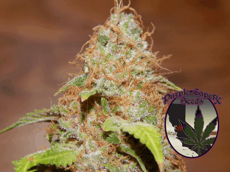 Purple Caper Seeds - Zkittlez BX