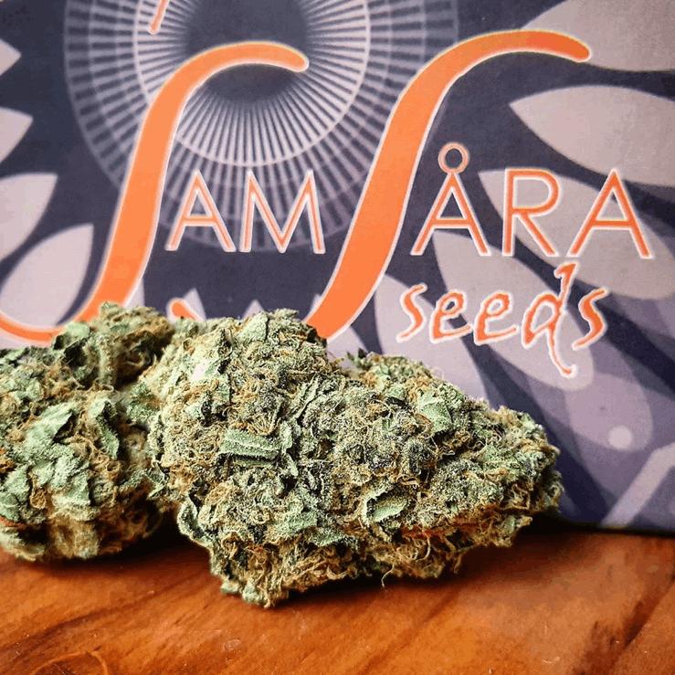 Samsara Seeds - Spicy White Devil