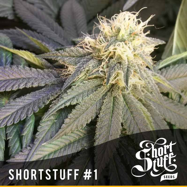 Short Stuff #1 cannabis