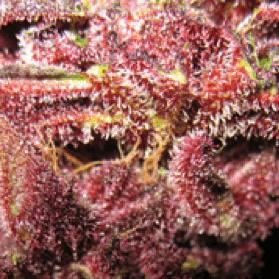 SickMeds Seeds - Bizarre