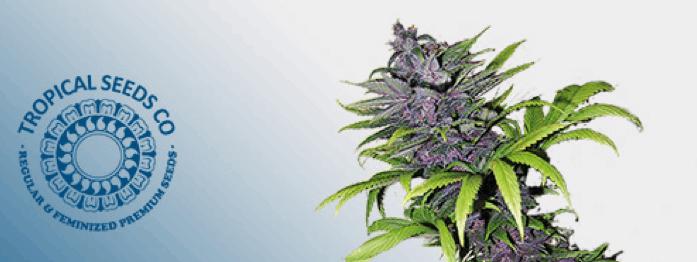 Tropical Seeds Company - Smooth Smoke