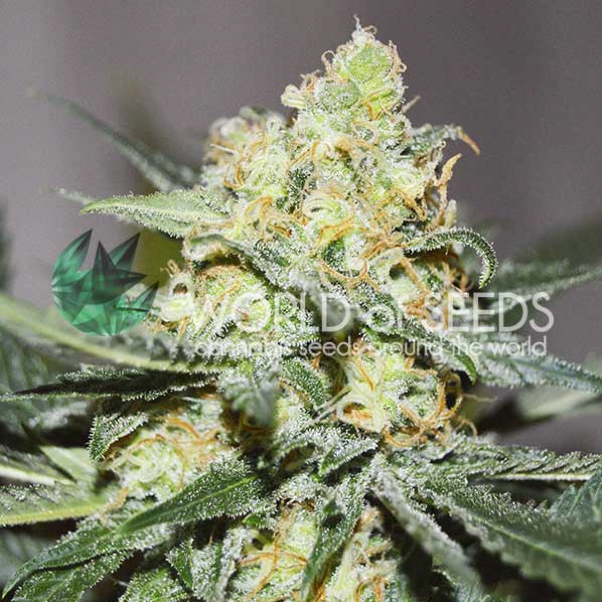 World of Seeds - Afghan Kush x Skunk