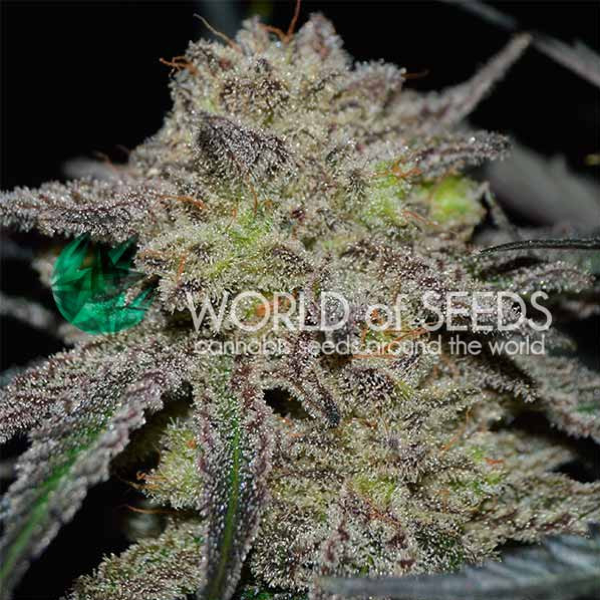 World of Seeds - Tonic Ryder