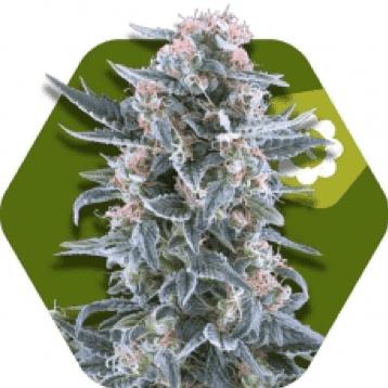 Zambeza Seeds - Blueberry autoflowering