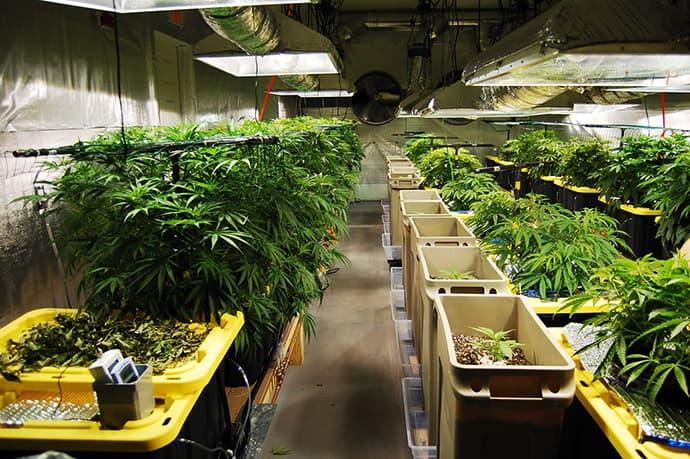Cannabis Growing Indoors