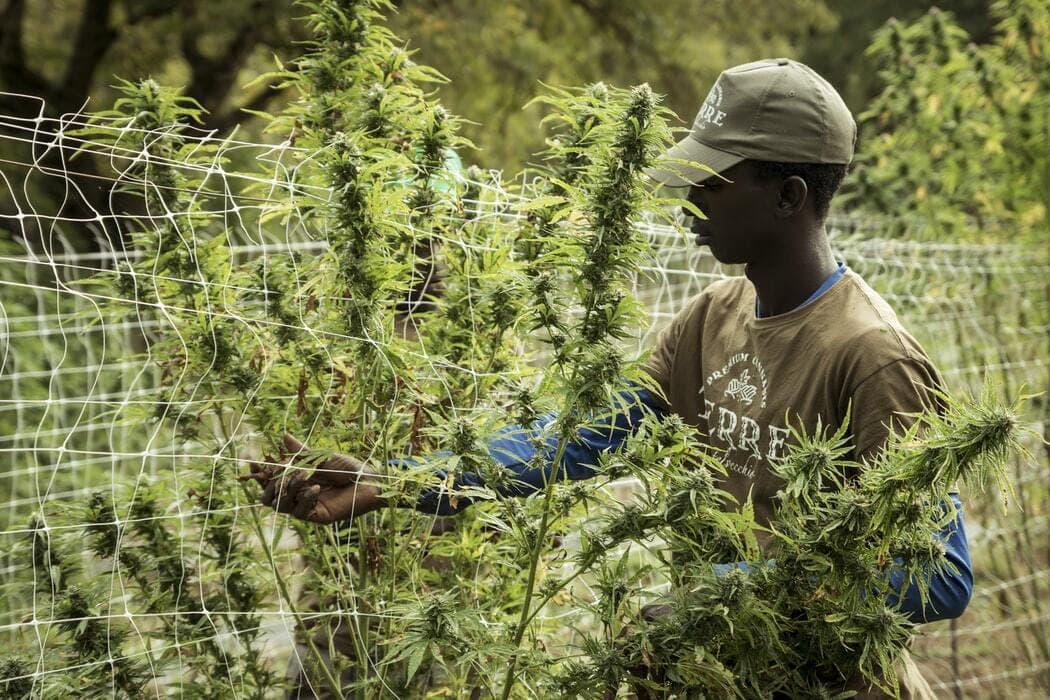 marijuana farmer outdoors
